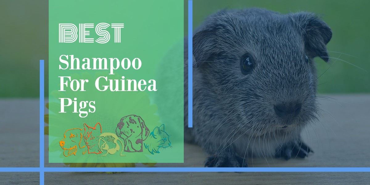 Shampoo For Guinea Pigs